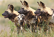 Save The Wild Dogs